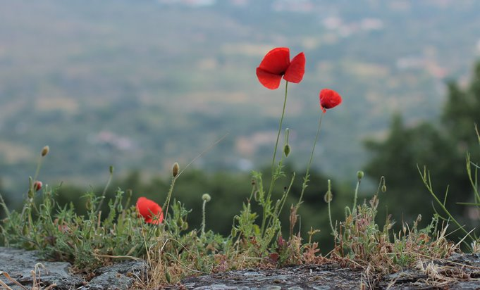 Photo of poppy flower standing tall amongst other plants